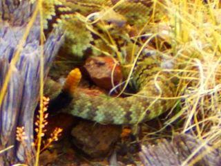 CDT rattlesnake